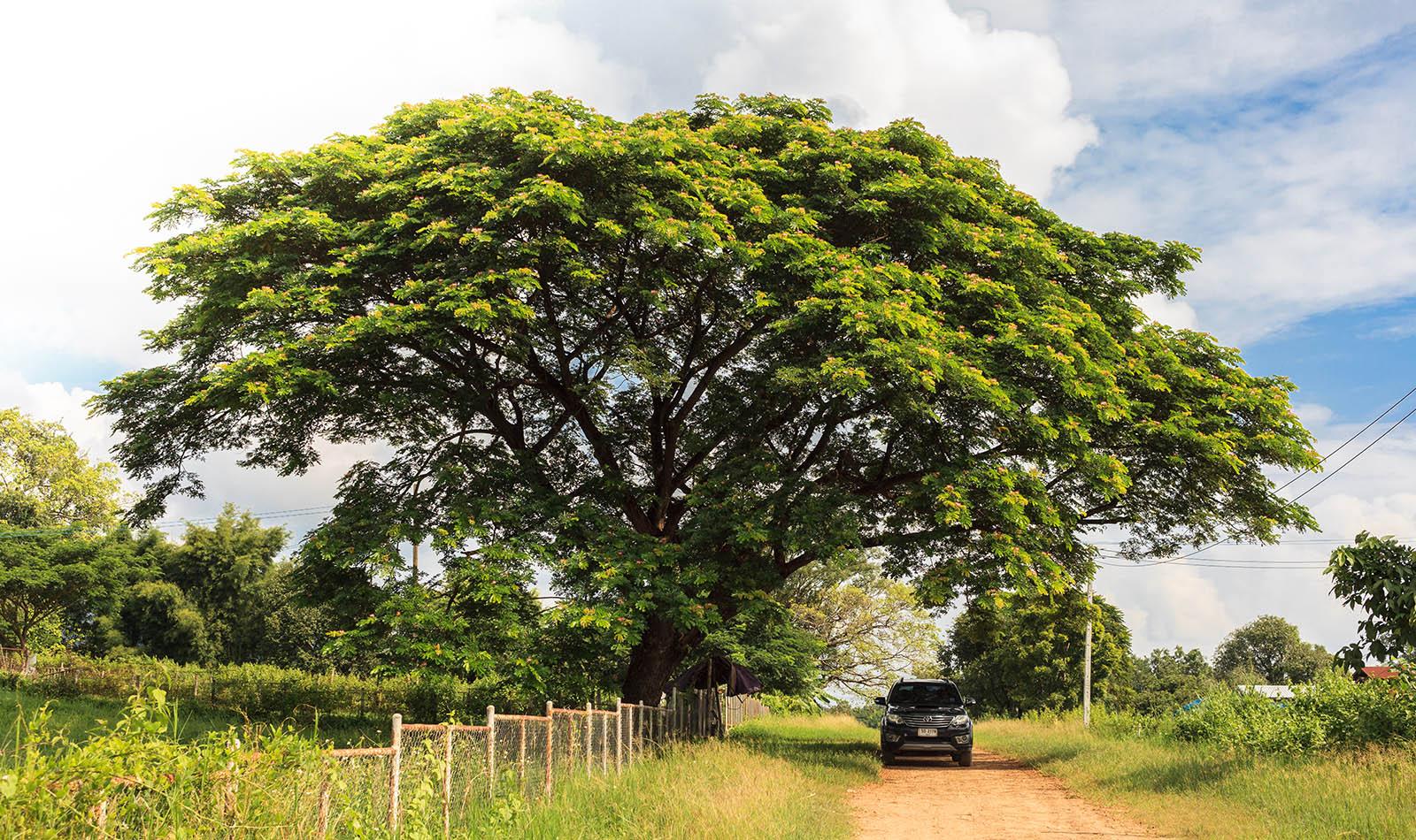 Suar wood tree or rain tree in Thailand.